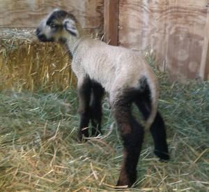 Midges lamb